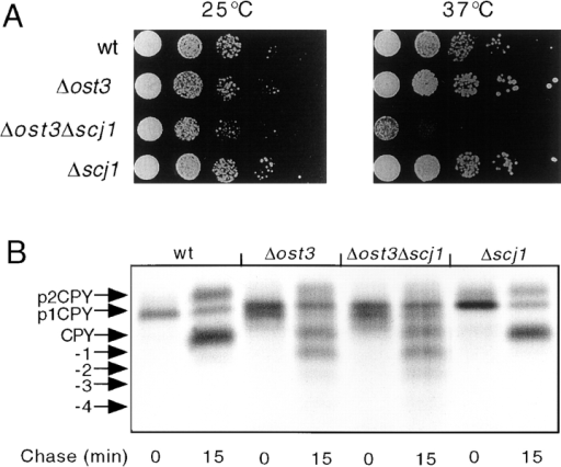 Growth and N-linked glycosylation of the Δost3Δscj1  mutant. (A) Severe growth defect of the Δost3Δscj1 mutant at  37°C. Yeast strains (RGY143A, RGY143B, RGY143C, and  RGY143D) were grown in liquid YPDA medium at 25°C and diluted to a density of 106 cells/ml. 5-μl aliquots of 10-fold serial dilutions of the cultures were plated on YPD-agar and incubated at  25 and 37°C for 2 d. (B) Glycosylation of CPY in vivo. CPY was  immunoprecipitated from glass bead extracts of yeast cultures radiolabeled for 10 min at 25°C and then chased for 0 or 15 min.  The ER form (p1CPY), the Golgi form (p2CPY), and fully glycosylated vacuolar CPY were resolved by PAGE in SDS and are  designated by labeled arrows. The migration positions corresponding to hypoglycosylated variants of CPY lacking between 1  and 4 N-linked oligosaccharides are indicated.