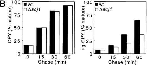 Transport of unglycosylated CPY from the ER  to the vacuole is delayed in  a Δscj1 mutant. (A) Wild-type (RGY141) and Δscj1  (RGY142) strains bearing  pJW373 (encoding ug-CPY)  were radiolabeled for 10 min  at 25°C and chased for the indicated times. CPY immunoprecipitates were resolved by PAGE in SDS. The ER, Golgi and vacuolar forms of CPY, expressed from  the genomic PRC1 gene, are designated as p1CPY, p2CPY, and CPY, respectively. The precursor and vacuolar forms of unglycosylated  CPY encoded by pJW373 are designated as pug-CPY and ug-CPY. (B) The radiolabeled bands from the gel in A were quantified, normalized to the total amount of CPY (precursors plus mature) present in a sample, and expressed as the percentage of mature CPY (left)  or mature ug-CPY (right) for each time point of the chase.