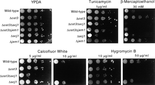 Growth of wild-type (RGY131) and  mutant strains (RGY324, RGY144, RGY145,  RGY147, RGY146) on media containing tunicamycin, β-mercaptoethanol, Calcofluor  White, or hygromycin B. Yeast strains were  grown in liquid YPDA medium at 25°C and  diluted to a cell density of 106 cells/ml. 5-μl  Aliquots of 10-fold serial dilutions were  plated on YPDA-agar or on plates with the  same medium containing drugs at the indicated concentrations. YPDA plates without  drug were incubated at 25°C for 2 d. Plates  containing tunicamycin, β-mercaptoethanol,  Calcofluor White and hygromycin B were incubated in the dark for 5–6 d at 25°C.