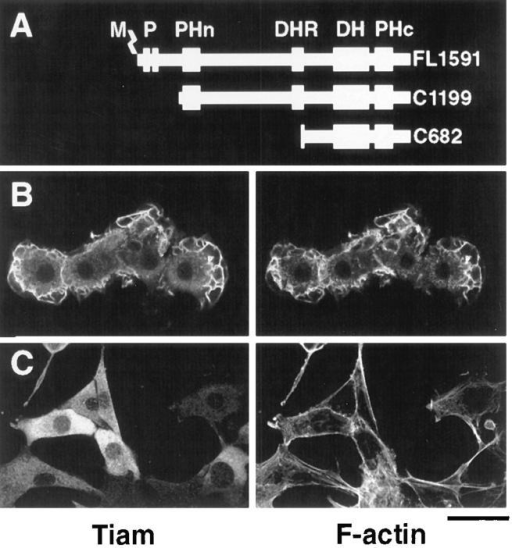 Confocal images of NIH3T3 cells expressing truncated  Tiam1 proteins. A depicts the Tiam1 constructs encoding the  COOH-terminal 1,199 amino acids (C1199) or 682 amino acids  (C682) that were used for transfection of NIH3T3 cells, in comparison to the full-length Tiam1 protein (FL1591). Established  cell lines that express the C1199 Tiam1 protein (B) or the C682  Tiam1 protein (C) were fixed and stained with anti-Tiam1 antibodies (Habets et al., 1994), followed by FITC-coupled secondary antibodies (left) and by TRITC-labeled phalloidin for F-actin  (right). Note the prominent membrane ruffling in cells that express the C1199 Tiam1 protein. Stress fibers are hardly visible in  these cells, since the optical sections were made through the upper half of the cells to reveal the presence or absence of membrane ruffling. No significant differences were found in the  amount or appearance of stress fibers between Tiam1-expressing  cells and controls. M, myristoylation signal; P, PEST regions;  PHn and PHc, NH2-terminal and COOH-terminal pleckstrin homology domains. Magnification is 250×. Bar, 40 μm.