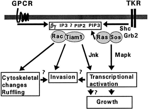 Model for activation of Rac by Tiam1. Activation of  Rac requires membrane translocation of Tiam1 and might be  analogous to activation of Ras by receptor-induced translocation  of SOS. Membrane association of Tiam1 could be mediated by  interactions between the NH2-terminal PH domain and putative  effectors of activated G-protein coupled receptors (GPCR), tyrosine kinase receptors (TKR), or Ras, which may include Gβγ  subunits, PIP2, PIP3, IP3, and perhaps Gα subunits. Activation of  Rac by membrane-associated Tiam1 leads to membrane ruffling  and JNK activation. It is unlikely that JNK is involved in the induction of an oncogenic phenotype in NIH3T3 cells, since mutant  C682 Tiam1 induces an oncogenic phenotype without activation  of JNK. Which Tiam1/Rac-mediated signaling pathways are involved in the induction of an invasive phenotype in T-lymphoma  cells remains to be established.