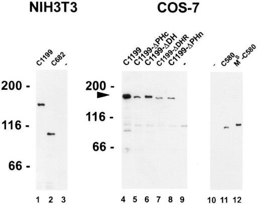Immunoblotting of mutant Tiam1 proteins. Cell lysates  were separated on a 7.5% SDS-polyacrylamide gel and blotted to  nitrocellulose. All mutant C1199 and C682 Tiam1 proteins were  detected with a polyclonal anti-Tiam1 antibody (Habets et al.,  1994). Mutant C580 Tiam1 proteins were detected with a monoclonal antibody against the HA-tag (12CA5). Proteins were visualized using enhanced chemiluminescence (Amersham Corp.). Molecular mass markers (in kD) are shown. The arrow indicates the  position of the mutant C1199 Tiam1 proteins.