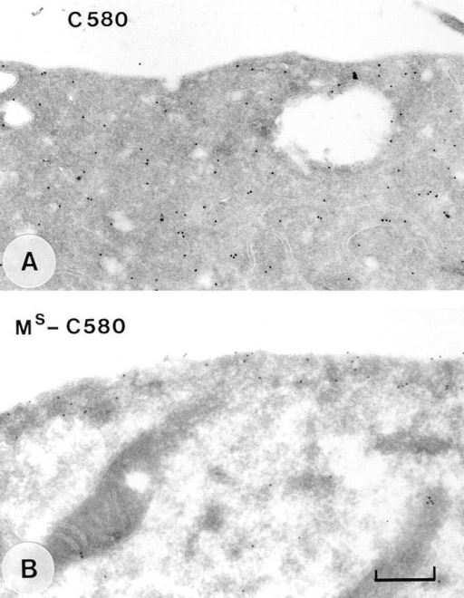 Immunoelectron microscopic localization of mutant  C580 Tiam1 proteins. Immunogold labeling of transiently transfected COS cells expressing C580 Tiam1 (A) or MS-C580 Tiam1  (B). Note that the MS-C580 Tiam1 protein is located at and underneath the plasma membrane. Bar, 400 nm.