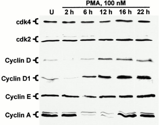 Effect of PMA treatment on the expression of cyclins and cdks in IEC-18 cells. Cells were exposed to 100 nM PMA for the indicated times (U, untreated) and subjected to Western blot analysis using antibodies specific for cdk4, cdk2, and cyclins D (pan), D1, E, and A. Data are representative of three independent experiments.