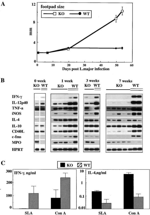 Course of L. major infection in ICSBP mutant mice. (A)  Swelling of infected footpads of ICSBP−/− (KO; n = 15) and ICSBP+/+  (WT; n = 10) mice was assessed as described in Material and Methods.  (B) Expression of genes involved in control of the resistance to L. major by  ICSBP−/− mice. RT-PCR analysis was performed on DLN cells. 7-wk  data represent RNA expression in DLNs obtained on day 49 after infection. Identical results were obtained for DLNs on day 53. (C) Impairment  of IFN-γ but not IL-4 production by DLN cells obtained from infected  ICSBP−/− mice after restimulation with SLA and Con A in vitro. Data  indicate the mean ± SEM in supernatants of 8 × 106 cells/ml derived  from 7-wk–infected ICSBP−/− (KO) and ICSBP+/+ (WT) mice. A summary of two separate experiments conducted on day 49 and day 53 after  infection is shown.