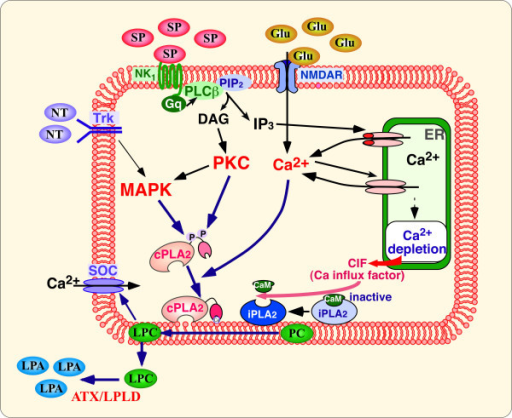 De novobiosynthesis of LPA in spinalcord neurons. The convertion of phosphatidyl choline (PC) to LPC is mediated by cPLA2 and iPLA2, which are activated by receptor-mediated MAPK, PKC, and [Ca2+]i increases. Autotaxin/lysophopholipase D (ATX/LPLD) subsequently converts LPC to LPA. The intense stimulation of sensory fibers might initiate de novo biosynthesis of LPA.