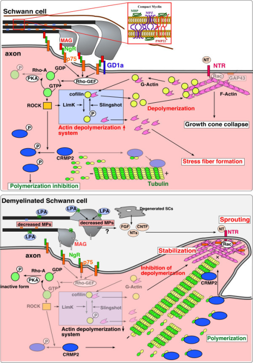 Schematic model of LPA-induced demyelination. The stimulation of LPA1 receptor first induces myelin to down-regulate compact myelin proteins, such as MBP, MPZ, and PMP22, and to loosen myelin structure. In addition, MAG is down-regulated and NOGO/p75 receptor complex (NgR/p75)-mediated activation of Rho-ROCK system is terminated. The latter mechanism results in inhibition of actin depolymerization, or sprouting. Degenerated Schwann cells (SCs) release neurotrophins, which in turn accelerate sprouting.
