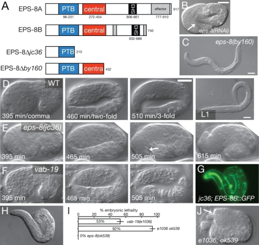eps-8  mutants are defective in embryonic morphogenesis and muscle attachment.(A) Structure of EPS-8 isoforms and predicted effects of by160 and jc36 deletions. The location of the ok539 intron deletion is shown in Croce et al., 2004 [17]. (B) Three-fold arrest with detached body wall muscles (arrow) in eps-8(RNAi) animal. (C) Arrested eps-8(by160) larva with normal epidermal morphology. (D–F) Frames from 4D time lapse movies of wild type (D), eps-8(jc36) mutants (E), and vab-19(ju406)/Df embryos (F) at time points equivalent to wild-type comma stage (395 minutes after first cleavage), two-fold (∼450 minutes), and three-fold (∼500 minutes). Like vab-19 embryos, eps-8(jc36) mutants elongate at normal rates to the two-fold stage (n = 12 embryos recorded). vab-19 embryos stop elongating within 5–10 minutes of the twofold stage, whereas all eps-8(jc36) embryos elongate to a 2.5- to 3-fold stage, stop elongating about an hour after the twofold stage, and then partly retract. eps-8(jc36) embryos show normal muscle twitching and, unlike vab-19, show vigorous movements within the eggshell; these movements stop after elongation arrest. Unlike vab-19 mutants, which typically hatch as lumpy two-fold embryos, most jc36 embryos do not hatch. Scales, 10 µm. (G, H) Rescue of eps-8(jc36) elongation defects by Pvab-19-EPS-8B::GFP (juEx703); GFP (G) and DIC (H). (I) Enhancement of vab-19(e1036cs) embryonic lethality by the eps-8b(ok539) allele; bars show mean±SEM for 5 complete broods for each genotype; P<0.001 by two-tailed t test. (J) Typical vab-19(e1036) eps-8(ok539) embryo from parents raised at 15°C, showing two-fold arrest and deformed head epidermis (arrow).