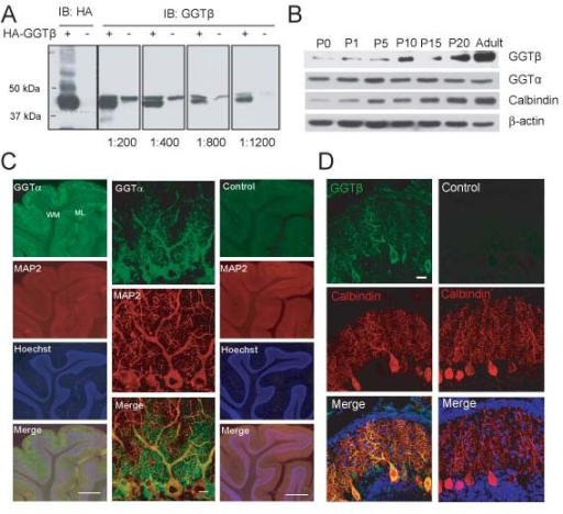 Expression and localization of GGT in the rat cerebellum. A) Lysates of HEK293 cells transfected with HA-GGTβ or vehicle plasmid were subjected to immunoblotting (IB) with anti-HA or -GGTβ antibody at indicated dilution. B) Homogenates of cerebellum from rats at indicated ages were subjected to IB with indicated antibodies. C) P10 rat cerebellar sections were stained with antibody against GGTα or control antibody, together with MAP2. Hoechst was used to mark cell layers. ML: molecular layer; WM: white matter. Scale bar is 200 μm (left and right lanes) or 20 μm (middle lane). D) P15 rat cerebellar sections were stained with antibody against GGTβ or control antibody, together with Calbindin. DAPI was used to mark cell layers. Scale bar is 20 μm.