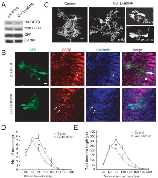 Down regulation of GGTβ decreases dendrite growth and branching of PCs. A) HEK293 cells were co-transfected with Myc-GGTα and HA-GGTβ, together with pSUPER-GGTβ-siRNA or pSUPER. Cell lysates were subjected to IB with HA, Myc, GFP, or β-actin antibodies. B) Cultured cerebellar slices were transfected with pSUPER or pSUPER-GGTβ-siRNA, followed by staining with antibodies against GGTβ and Calbindin. Note the decrease of GGTβ signals in GGTβ-siRNA -transfected PCs. Scale bar = 20 μm. C) Cultured cerebellar slices at DIV2 were transfected with pSUPER-GGTβ-siRNA or pSUPER, together with pCAG-EYFP plasmid (3:1) to mark transfected cells. Shown are representative images at DIV5. Scale bar = 20 μm. D) Quantification for the number of crossings between dendrites and circles with a radius of indicated distance. E) Quantification for total dendritic length in indicated fields. Data shown are presented as means ± SEM (n = 17 for control, n = 23 for GGTβ-siRNA). *P < 0.05, Student's t test. Scale bar is 20 μm.