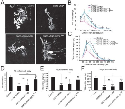 Rescue effect of siRNA-resistant form of GGTβ. A) Representative images of Purkinje cells after transfection with pSUPER (control), pSUPER-GGTβ-siRNA, or GGTβ-siRNA together with HA-GGTβ or HA-GGTβRes. B) Quantification for the number of crossings. C) Quantification for total dendritic length between neighboring circles. D) Number of crossings at the circle with radius of 75 μm was quantitatively analyzed. E, F) Total dendritic length between neighboring circles at the interval of 25 μm (between 50 and 75 μm or between 75 and 100 μm). Data are shown as means ± SEM (n = 12 for control; n = 17 for GGT-siRNA; n = 15 for GGT-siRNA plus HA-GGTβ; n = 19 for GGT-siRNA plus HA-GGTβRes). N.S. P > 0.05; *P < 0.05; **P < 0.01; ***P < 0.001. Student's t test. Scale bar = 20 μm.