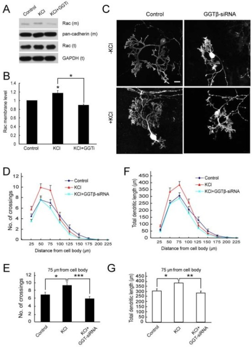 Effect of GGT-siRNA on high K+-induced Purkinje cell dendrite development. A) Rat cerebellar slices at DIV2 were pre-treated with GGTi-2147 (2.5 μM) or vehicle DMSO for 45 min, followed by the treatment with KCl (10 mM) for 2 hr. Membrane fractions were separated and subjected to IB with indicated antibodies. B) Quantification for the levels of membrane Rac, Rac (m). Data were shown as means ± SEM from three independent experiments. *P < 0.05. Student's t test. C) Representative images of Purkinje cells transfected with pSUPER or pSUPER-GGTβ-siRNA, without or with 10 mM KCl treatments. D, E) Quantification for the number of crossings at indicated distances from soma. F) Quantification for total dendritic length between neighboring circles. G) Total dendritic length between the circle of 50 and 75 μm. Data are shown as means ± SEM (n = 39 for control; n = 47 for GGT-siRNA; n = 36 for KCl; n = 34 for KCl with GGT-siRNA). N.S. P > 0.05; *P < 0.05; **P < 0.01; ***P < 0.001. Student's t test. Scale bar = 20 μm.