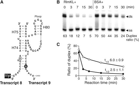 Unwinding activity of RlmKL. (A) The RNA substrate used for the unwinding assay. 5′-end of transcript 8 was labeled by 32P. (B) The unwinding assay by RlmKL. The duplex and single strands were separated by native PAGE and the radio activity of transcript 8 was visualized and quantified by the imaging analyzer. Duplex ratio (%) described at the bottom of the panel stands for the remaining duplex proportion in total radio activity of transcript 8. The left 5 lanes and the right 5 lanes show time course monitoring of the unwinding activity in the presence of RlmKL (RlmKL+) and BSA (BSA+), respectively. (C) Duplex ratio (%) was plotted against reaction time (min). Open and closed circles indicate BSA+ and RlmKL+, respectively. The half-lives (t1/2) for both conditions were calculated by non-linear curve fitting and shown as average ±SD; values of three independent experiments.