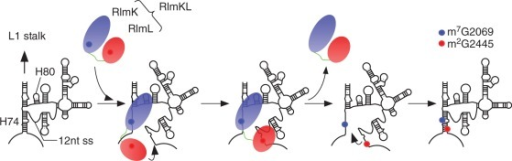 Schematic depiction of a catalytic mechanism for the cooperative modifications of Helix 74. After transcription of domain V in the 23S rRNA, the C-terminal RlmK domain of RlmKL unwinds Helix 74 upon recognizing Helix 80 and Helix 74, and then methylates G2069. The single-stranded 3′ side of Helix 74 is then recognized by the N-terminal RlmL domain, and G2445 is methylated. Finally, Helix 74 reforms a duplex, and domain V is restructured.