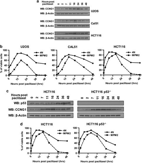 Increased CCNG1 expression accompanies paclitaxel-induced SAC-mediated mitotic arrest in a p53-independent manner. Asynchronous U2OS, Cal51 and HCT116 cells were treated with 10 μM paclitaxel for 60 min. (a) Cells were harvested over 48 h and immunoblotted with anti-CCNG1 and anti-β-actin antibodies. β-actin is used as a loading control here and in other experiments. (b) Samples of the cells described in (a) were stained with mitotic phosphoprotein monoclonal antibody, MPM-2 and propidium iodide (PI) to measure DNA content, before analysis by flow cytometry. The percentage of viable cells with 4N DNA content, or positive for MPM-2 staining, is shown. (c) Paclitaxel-induced CCNG1 expression is independent of p53. Asynchronous HCT116 cells and their isogenic p53- counterparts (HCT116 p53−/−) were treated with paclitaxel as described before the analysis of CCNG1 and p53 expression by western blotting. (d) Samples of the cells described in (c) were fixed and stained with MPM-2 and PI as described in (b). Results shown are typical of three or more independent experiments.