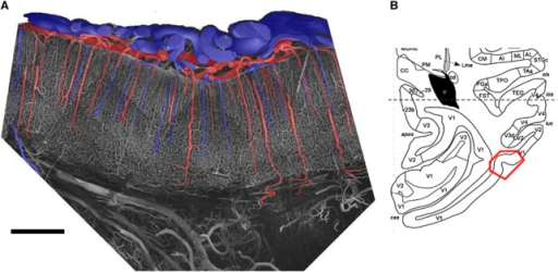 (A) Scanning electron micrograph of a vascular corrosion cast from the monkey visual cortex (primary visual cortex). Arteries are shaded in red and veins are blue. Bar=1 mm. (B) The red box shows the precise location of the imaged area (horizontal schematic section taken from Saleem and Logothetis, 2007).