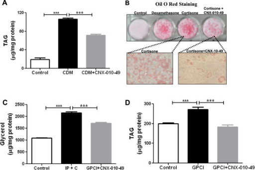 Effect of CNX-010-49 on adipocytes differentiation, hypertrophy and lipolysis. Mouse 3T3-L1 preadipocytes were differentiated into mature adipocytes using complete differentiating media (CDM) in the presence and absence of 1 μM of CNX-010-49. The extent of inhibition of adipocytes differentiation was assessed by measuring triglyceride levels (A) and Oil red O staining (B). For inhibition of lipolysis, mature adipocytes were treated with 1 μM isoproterenol and 100 nM cortisone with or without 1 μM of CNX-010-49 for 18 h. Post 18 h, glycerol released into the media was measured (C). For inhibition of adipose hypertrophy, mature adipocytes were treated with GPCI (25 mM glucose, 500 μM palmitate, 1 μM cortisone, 10 ng/ml of inflammatory cytokines (TNFa, IL1 β, IFNγ)) for 48 h with or without 1 μM of CNX-010-49. Post 48 h, triglyceride accumulation was measured (D). All the values are expressed as Mean ± SEM. Statistical comparison was conducted by One-way ANOVA followed by Dunnett's test (n = 6) (*P < 0.05, **P < 0.01 and ***P < 0.001).
