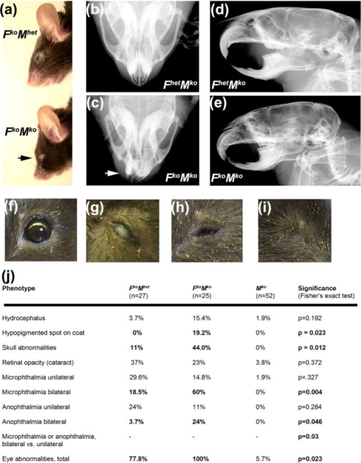 Increased prevalence of congenital defects in FkoMko mice. (a) Representative image illustrating characteristic craniofacial features of FkoMko mice compared to the normal appearance of FkoMhet controls. (b, c) Representative X-ray of skulls showing deviated rostrum, micrognathia and abnormal dentition in FkoMko mice (c) compared to that of FhetMko control (b). (d, e) Representative X-rays of skulls showing abnormal skull shape and pronounced microcephaly in FkoMko mice (e) compared to that of FhetMko controls (d). (f-i). Representative images of diverse ocular defects observed. (f) Normal eye. (g) Corneal opacity/cataract. (h) Microphthalmia. (i) Anophthalmia. (j) Table indicating frequency of observed congenital abnormalities, P-values calculated by Fisher's exact test with significant differences in bold font.