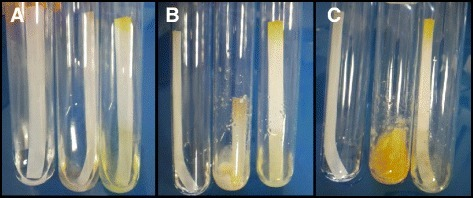 Evaluation of the cellulose-degrading capabilities ofLaetisaria arvalis. Growth was performed in minimal medium containing filter paper strips as the sole carbon source. Pictures were taken after one day (A), five days (B) and 10 days (C). Left tube: control without inoculum; middle tube: L. arvalis; right tube: Trichoderma reesei QM6a. These results are representative of several independent experiments.