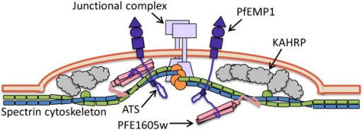 Schematic representation of an iRBC knob. Our proposed mechanism of PFE1605w function, connecting the C terminus of PfEMP1 ATS to the cytoskeleton, is illustrated.