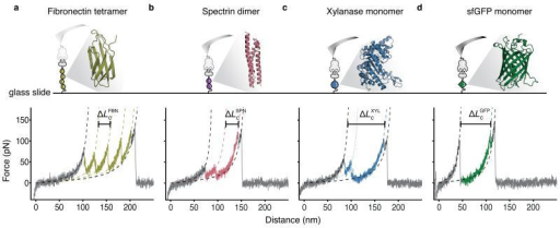 Single-molecule force traces recorded in different protein spots on a single chip with a single cantilever.(a-d) Four proteins of interest, anchored between the CoA-functionalized surface and the Cohesin-functionalized cantilever were probed: fibronectin tetramer (a, olive), spectrin dimer (b, red), xylanase monomer (c, blue), and sfGFP monomer (d, green). The crystal structure and pulling configuration (top) are shown for each construct. Each single-molecule force-distance trace (bottom) shows the individual unfolding fingerprint of the respective protein of interest followed by a common, final double sawtooth peak (grey), characteristic of the Cohesin-Dockerin rupture. Experimental data were fitted with the wormlike chain model (dashed lines). Unfolding intermediates were also observed (only fitted for xylanase in c; dotted colored line).