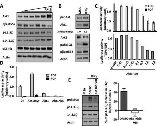 Phosphorylation of 14.3.3ζ at serine 58 requires up-regulation of Akt1 protein levels. (A) The effect of increasing concentrations of Akt1 on phosphorylation of 14.3.3ζ was analyzed in cell lysates of SW480 cells. Akt1, 14.3.3ζ, p14.3.3ζ, and pS6 Rib were analyzed by Western blot. Actin was used as a loading control. (B) The expression of Akt1 and Akt2 after IFNγ treatment was analyzed by Western blotting lysates of colonic tissue of mice injected with IFNγ. Western blots were performed using antibodies against pan-Akt, Akt1, Akt2, pAkt308, and pβ-cat552. Actin was used as loading control. (C) The role of Akt1 expression in β-catenin transactivation was evaluated in SW480 cells transfected with 0.01–2 μg/ml vector expressing Akt1. β-Catenin transactivation was evaluated by TOPflash assay. TOP vs. FOP and TOP/FOP activity are plotted. (D) Effects of Akt1 subcellular distribution on β-catenin–mediated transcriptional activity was evaluated by TOPflash assay in SW480 cells. Cells were transfected with 0.75 μg/ml Akt1-myr, Akt1, or Akt-NLS constructs in serum-free medium. (E) The expression of p14.3.3ζ was analyzed in colonic cell lysates of IFNγ-injected animals that were pretreated with dimethyl sulfoxide or Akt inhibitor VIII. Densitometric values were normalized to actin and are presented as a graph (**p < 0.0001).