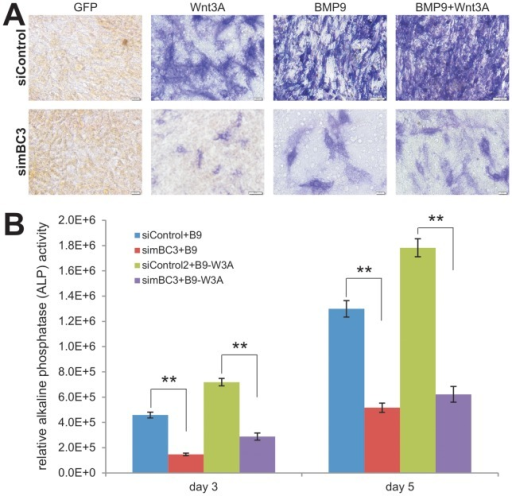 "Silencing β-catenin diminishes the synergistic osteogenic activity between BMP9 and Wnt3A in iMEF cells.(A) Wnt3A and/or BMP9-induced early osteogenic marker alkaline phosphatase (ALP) activity is reduced in iMEF-simBC3 cells. Subconfluent iMEF-simBC3 and iMEF-siControl cells were infected with AdWnt3A, AdBMP9, AdGFP, or AdWnt3A+AdBMP9. At day 5 post infection, cells were fixed for ALP histochemical staining assay. Each assay conditions were done in triplicate. Representative results are shown. (B) Wnt3A and/or BMP9-induced ALP activity is decreased in the β-catenin silenced iMEFs. The experiments were set up in a similar fashion to that described in (A). At days 3 and 5, cells were lysed for quantitative ALP activity assays. Basal ALP activities (e.g., GFP groups) were subtracted from all BMP9, Wnt3A, and Wnt3A+BMP9 groups. Each assay conditions were done in triplicate. ""**"", p<0.001 (iMEF-simBC3 vs. iMEF-siControl)."