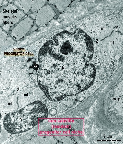 A higher magnification of a field that suggests a non-satellite (resident) progenitor cell. No satellite cells are seen. The sarcomeres are formed. Z: Z lines; mf: myofilaments (thick and thin).