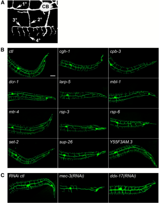 Loss or reduction of RNA-binding protein (RBP) genes results in a decrease in dendritic termini in PVD neurons. (A) PVD dendritic tree morphology includes primary (1°) branches extending from the cell body (CB) and a series of perpendicular secondary (2°), tertiary (3°), and quaternary (4°) branches. (B) Animals carrying a green fluorescent protein (GFP) marker for PVD neurons and a mutation in the RBP gene indicated have reduced dendritic termini compared with the control (ctl). (C) Animals carrying a GFP marker for PVD neurons and treated with RNA interference (RNAi) for the genes indicated have reduced dendritic termini compared with the control. mec-3(RNAi) is a positive control for RNAi and reduced dendrite phenotypes. Posterior is to the right in all images. Bar = 25 μm.