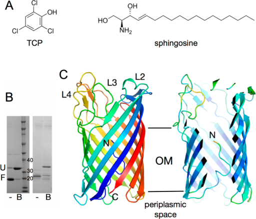 X-ray crystal structure of Pput2725.(A) Chemical structures of 2,4,6-trichlorophenol (TCP) and sphingosine, illustrating the diversity of COG4313 protein transport substrates. (B) Coomassie-stained SDS-PAGE gels showing in vitro folded Pput2725 (left panel) and OM-expressed CnTcpY (right panel). Both proteins are heat-modifiable and migrate at a lower molecular mass without sample boiling because they are still folded (F; -). After boiling (B) the proteins unfold (U) and migrate close to their true molecular mass (30.5 kDa for Pput2725 and 34 kDA for TcpY). (C) Cartoon overview of Pput2725 with rainbow coloring (N-terminus; blue). The right panel is a cut-away view showing the N-terminus inside the barrel lumen. The protein is colored by B-factor (blue; low). The extracellular loops and the N-terminus are labeled. All molecular models were made using Pymol28.