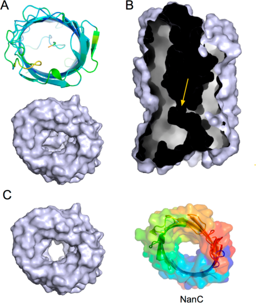 The N-terminus constricts the barrel lumen of Pput2725.(A) Views from the extracellular side showing a cartoon (top panel; colored by B-factor) and a molecular surface model (bottom panel). (B) Cut-away surface view showing the internal channel. The constriction is indicated with an arrow. (C) Surface view from the extracellular side of Pput2725 lacking the N-terminus, showing a large channel. For comparison, a rainbow surface model is shown for E. coli NanC, which is involved in the uptake of N-acetylneuraminic acid.