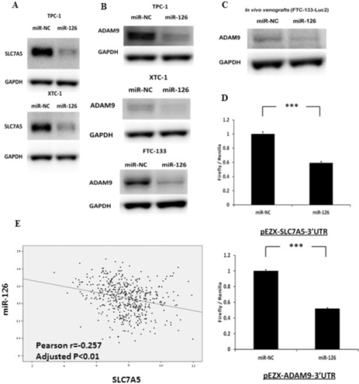 miR-126-3p regulates and directly targets SLC7A5 and ADAM9 protein expression in thyroid cancer cells in vitro and in vivo.(A) Immunoblots of SLC7A5 and GAPDH in TPC-1 and XTC-1 cell lines, which were transfected with either miR-126-3p or miR-NC for 72 hours. The FTC-133 cell line had no detectable protein expression for SLC7A5. (B) Immunoblots for ADAM9 and GAPDH in TPC-1, FTC-133 and XTC-1 cell lines, which were transfected with either miR-126-3p or miR-NC for 72 hours in vitro. (C) Immunoblots for detecting ADAM9 and GAPDH in FTC-133-Luc2 tumor xenografts that had been inoculated subcutaneously into the flanks of athymic nude mice and allowed to develop for 10 days. (D) Luciferase activity of pEZX-SLC7A5-3′UTR and pEZX-SLC7A5-3′UTR in FTC-133 cells when co-transfected with miR-126-3p or miR-NC. All luciferase measurements were made in triplicate and readings were performed 24 hours post-transfection. Error bars represent SEM (*** indicates p<0.001). (E) The expression level of miR-126-3p is significantly inversely associated with the expression level of SLC7A5 in 481 papillary thyroid cancer samples from the TCGA dataset. *** indicates p<0.001.