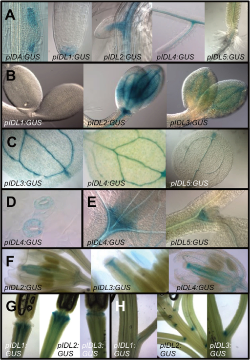 Histochemical analysis of promoter:GUS expression using the promoters of IDA and IDL1 to IDL5 genes. (A) pIDA:GUS is expressed during lateral root emergence in endodermis (63× magnification), cortex and epidermis cells; pIDL1:GUS in columella root cap cells (40×); pIDL3:GUS and pIDL4:GUS in the vasculature and pIDL5:GUS next to the hypocotyl (20×). (B) pIDL2:GUS and pIDL3:GUS are, in contrast to pIDL1:GUS, expressed in the cotyledons 3 d after germination (40×). (C) pIDL3:GUS, pIDL4:GUS and pIDL5:GUS are expressed in the vasculature of the first true leaves, including the hydathodes (20×). (D) pIDL4:GUS is expressed in the guard cells (40×); (E) pIDL4:GUS and IDL5:GUS are expressed in the shoot apical meristem (40×), (F) pIDL2:GUS, pIDL3:GUS and pIDL4:GUS are expressed in the vasculature of flowers at developmental stage 6.0F (20×). (G) pIDL1:GUS, pIDL2:GUS and pIDL3:GUS are expressed in the vasculature in the abscission zone region after the floral organs have been shed (20×). (H) pIDL2:GUS and pIDL3:GUS are in contrast to pIDL1:GUS expressed in vestigial abscission zones at the base of pedicels and branches (20×).