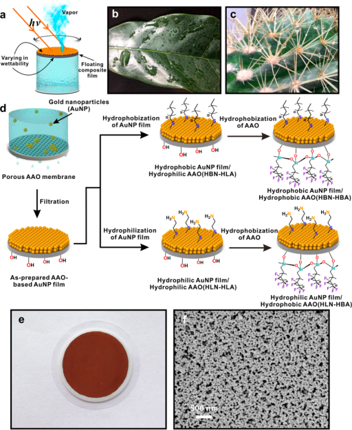 (a) Floating double-layered film (top: light-to-heat conversion layer; bottom: supporting layer) with varying wettability; Optical images of hydrophilic leaf of Osmanthus fragrans (b) and hydrophobic leaf of cactus (c); (d) Schematic of preparation of AAO-based AuNP film (AANF); (e) Optical image of AANF; (f) Front view SEM image of AANF. ((a,d) were drawn by Chengyi Song. The images in (b,c) were taken by Chengyi Song).