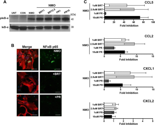 The proteasome inhibitor bortezomib and the immunoproteasome inhibitor PR-957 effectively inhibit NFκB-dependent pro-granulocytic responses induced by NMO IgG. a Lysates (30 μg per lane) from unstimulated cells (UNT), following stimulation for 60 min with 100 μg/mL CON IgG (CON) or NMO IgG (NMO), or following stimulation with NMO IgG after pretreatment with bortezomib (BRT 1 μM or 2.5 μM) or PR-957 (PR 1 μM or 10 μM) were probed by immunoblot with antibodies for either pIκB-α or IκB-α. As expected, pIκB-α accumulated in BRT- or PR-treated cells due to impaired proteasome and immunoproteasome function. Blot is representative of 2 independent experiments. b Nuclear translocation of NFκB p65 (green) in GFAP-labeled cells (red) was assessed after stimulation for 60 min with 100 μg/mL NMO IgG alone or following 60-min stimulation with NMO IgG after pretreatment for 2 h with either bortezomib (BRT; 1 μM) or PR-957 (PR; 1 μM). Scale bar: 50 μM. p65 translocation was robustly blocked by both inhibitors. Panel is representative of 2 independent experiments performed in duplicate. c The fold inhibition of CCL5, CCL2, CXCL1, and CXCL2 release induced after stimulation of cells for 24 h with 100 μg/mL of NMO IgG in the presence of BRT (1 μM or 2.5 μM) or PR (1 μM or 10 μM) was assessed by ELISA. Both BRT and PR were effective inhibitors of CCL5, CCL2, and CXCL1 responses with little inhibition of CXCL2, as previously observed for MG132. Fold inhibition was calculated as in Fig. 4. Findings are representative of two separate experiments performed in triplicate. Error bars show the 95 % confidence interval. p < 0.001 from two-way ANOVA comparing chemokines and inhibitors used for treatment