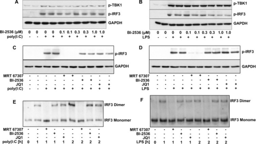 BI-2536 and JQ1 do not impair the poly(I:C)- or LPS -stimulated activation of TBK1 or the phosphorylation and dimerization of IRF3(A and B) RAW cells were incubated for 1 h with the indicated concentrations of BI-2536, and then stimulated for 2 h without (−) or with (+) poly(I:C) (10 μg/ml) (A) or LPS (100 ng/ml) (B). Cell lysates (25 μg of protein) were subjected to SDS/PAGE, transferred on to PVDF membranes and immunoblotted with antibodies that recognize TBK1 phosphorylated at Ser172, IRF3 phosphorylated at Ser396 and GAPDH as loading control. (C and D) RAW cells were incubated for 1 h without (−) or with (+) 2.0 μM of the TBK1 inhibitor MRT67307, 1.0 μM BI-2536 or 1.0 μM JQ1, and then stimulated for 1 h with poly(I:C) (10 μg/ml) (C) or LPS (100 ng/ml) (D). Cell extracts were immunoblotted with the anti-IRF3 and anti-GAPDH antibodies used in (A) and (B). Similar results were obtained in two other independent experiments for (A)–(D). (E and F) RAW cells were incubated for 1 h without (−) or with (+) 2.0 μM MRT67307, 1.0 μM BI-2536 or 1.0 μM JQ1 and then stimulated with poly(I:C) (10 μg/ml) (E) or LPS (100 ng/ml) (F) for the times indicated. The cell lysates (10 μg of protein) were subjected to native PAGE to separate the monomeric and dimeric forms of IRF3, which were detected by immunoblotting with an antibody that recognizes all forms of IRF3.