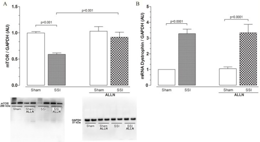 (A) Western blot analysis of cardiac mTOR protein levels after CLP. Cardiac mTOR protein levels in the SHAM, SSI, SHAM+ALLN and SSI+ALLN groups were measured 24 h after surgery and were expressed in arbitrary units (AUs). GAPDH was used to determine equivalent loading conditions. (B) Analysis of cardiac dystrophin mRNA expression. Dystrophin mRNA expression was measured 24 h after the CLP procedure and expressed in arbitrary units (AUs). GAPDH gene expression was used as the internal control for gene expression normalization. The results (n = 6 per group) are representative of three different experiments.