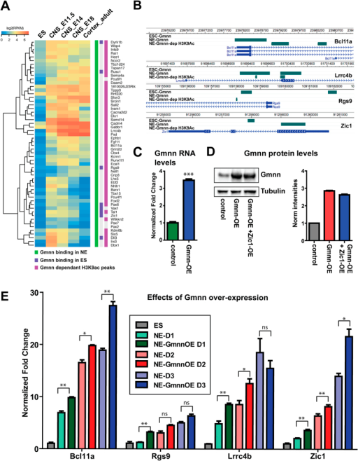 Geminin over-expression during neural cell fate acquisition promotes the expression of Gmnn-associated genes with Gmnn-dependent histone acetylation.(A) Clustering of a subset of Gmnn-associated genes that also exhibit Gmnn-dependent H3K9ac, by comparison with their expression levels in ES cells, embryonic CNS, and adult cortex. (B) Locations of Gmnn association or Gmnn-dependent H3K9ac are shown for several genes in (A) (WashU Epigenome Browser). (C,D) ES cells were transfected and selected to overexpress a Gmnn cDNA construct, and (C) qRTPCR and (D) immunoblotting demonstrate increased Gmnn expression levels at the mRNA and protein level. (E) Levels of expression of four Gmnn-associated genes were defined on days 1–3 of neural fate acquisition, with versus without Gmnn over-expression (Gmnn OE). Gene expression levels on each day of NE fate acquisition are expressed relative to ES = 1.0 and p-values shown (student's t-test) compare expression with versus without Gmnn OE on each day of the NE fate acquistion: ** =< 0.01, * =< 0.05, ns = not significant. Error bars represent standard deviation for a representative qPCR performed in triplicate.