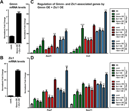 During neural cell fate acquisition, Gmnn and Zic1 cooperatively promote the expression of Gmnn- and Zic1-associated genes.ES cells that stably over-expressed both Gmnn and Zic1 were established and Gmnn (A) or Zic1 (B) mRNA levels were defined in over-expressing ES cells relative to non-overexpressing cells (cont.). Gmnn and Zic1 protein levels after combined Gmnn + Zic1 over-expression are shown in Figs 5D and 6C. (C,D) Expression levels of four Gmnn- and Zic1-associated genes were evaluated by qRTPCR on days 1–3 of neural fate acquisition, in response to single or combinatorial over-expression of Gmnn and/or Zic1. Gene expression levels on each day of NE fate acquisition are expressed relative to ES = 1.0 and p-values shown (student's t-test) compare expression with versus without Gmnn and/or Zic1 OE at each day of NE fate acquisition: *** =< 0.001, ** =< 0.01, * =< 0.05, ns = not significant. Error bars represent standard deviation for a representative qPCR performed in triplicate.