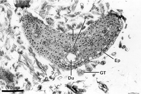 Leaf fragment in cross section in histological methacrylate preparation of resin mass collected from a corbicula of Africanized Apis mellifera on shoot apex of Baccharis dracunculifolia. Du, resiniferous duct; Ep, epiderm; GT, glandular trichome; P, phloem; X, xylem.