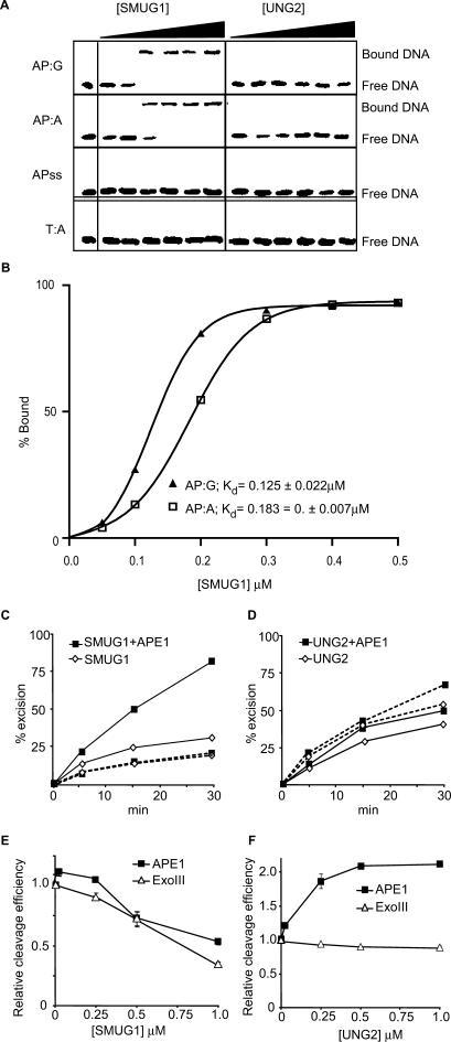 Product binding, effects of the AP-endonuclease APE1 and effects on AP-endonucleases APE1 and Exo III. (A) EMSA analysis of SMUG1 and UNG2 on AP-sites; 50, 100, 200, 300, 400 and 500 nM hSMUG1 and hUNG2 were incubated with 4 nM ds oligonucleotide (with complementary bases as indicated) or ss oligonucleotide, following uracil-excision binding to the product AP-sites were analysed by non-denaturating PAGE. (B) Percent bound AP:G and AP:A oligo plotted against the concentration of SMUG1 (µM) using a sigmoid curve fit model in GraphPad Prism®. The Kd values were calculated and represent the concentration of SMUG1 giving 50% of maximal binding to the AP-oligo. (C) Multiple turnover oligonucleotide assay with 0.85 nM SMUG1 and 20 nM U:G substrate (solid lines) or 20 nM Uss substrate (dotted lines) in the absence or presence of 8.5 nM APE1. (D) Multiple turnover oligonucleotide assay with 0.085 nM UNG2 and 20 nM U:G substrate (solid lines) or 20 nM Uss substrate (dotted lines) in the absence or presence of 8.5 nM APE1. Uracil excision was quantified after piperidine cleavage of the AP-site and separation by PAGE. (E) AP-cleavage activity of APE1 and ExoIII in the presence of SMUG1. (F) AP-cleavage activity of APE1 and ExoIII in the presence of UNG2. In (E) and (F), the AP-endonucleases (0.025 nM) were incubated for 10 min with 2 nM oligonucleotide substrate containing a central AP-site opposite guanine (AP:G) together with increasing amounts (0–1 µM) of SMUG1 or UNG2. AP-endonucleolytic cleavage was quantified after separation by PAGE.