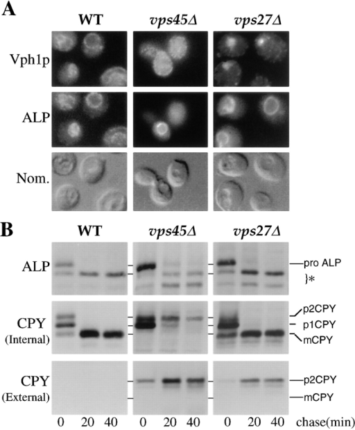Differential localization of ALP and other vacuolar  proteins. (A) Double label immunofluorescence of Vph1p (upper  panels) and ALP (middle panels) is shown for wild-type cells  (SF838-9D), vps45Δ cells (RPY12), and vps27Δ cells (HYY1).  The depressions visible in the Nomarski image (lower panels)  identify the yeast vacuole. (B) Immunoprecipitation of newly  synthesized ALP and the soluble vacuolar hydrolase CPY in  wild-type cells (RPY10), vps45Δ cells (RPY11), and vps27Δ cells  (AACY5). Newly synthesized proteins were labeled for 10 min at  30°C with the addition of 35S-Express. Excess unlabeled methio-nine and cysteine were then added for the indicated times. After  centrifugation, internal (pellet) and external (supernatant) fractions were then prepared. CPY was immunoprecipitated from intracellular and extracellular fractions and ALP was immunoprecipitated from intracellular fractions. The PEP4-dependent cleavage  products of ALP are indicated (*).