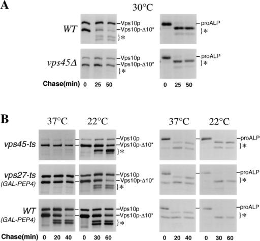 Trafficking of  ALP and Vps10p-Δ10* in  temperature-sensitive vps  mutants. (A) The rate of  PEP4-dependent processing  of Vps10p-10* (left panels)  and ALP (right panels) was  measured in wild-type cells  (RPY96) and vps45Δ cells  (RPY99) by pulse/chase  analysis. Cells were labeled  with 35S-Express for 10 min  at 30°C and chased for the indicated times. Cell lysates  were divided and subjected  to immunoprecipitation with  anti-ALP and anti-Vps10p  antibodies. Both the full-length Vps10p and the truncated Vps10p-Δ10* were  present. The PEP4-dependent cleavage products of  Vps10p-Δ10* and ALP are  indicated (*). (B) The rate of  PEP4-dependent cleavage  of Vps10p-Δ10* and ALP  was measured in vps45-ts  cells (RPY102). Cells were  grown overnight at 22°C and  then either maintained at  22°C or shifted to 37°C 10  min before labeling with 35S-Express for 10 min. The  chase times used are indicated. ALP and Vps10p-Δ10* were immunoprecipitated as described above. The rate of PEP4-dependent cleavage of Vps10p-Δ10* and ALP was measured in vps27-ts cells (RPY103) and  wild-type cells (RPY110) each carrying the GAL1-PEP4 plasmid, pRCP39. Cells were grown in galactose-containing media for 24 h at  22°C and then shifted to glucose-containing media for 24 h before the pulse/chase immunoprecipitation scheme used for vps45-ts cells  (RPY102) above. Cells were either maintained at 22°C or shifted to 37°C 10 min before labeling.
