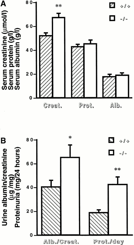 Effect of MMP9 deficiency on renal function in anti-GBM glomerulonephritis. (A) Serum creatinine (Creat.), protein (Prot.), and albumin (Alb.) levels in MMP9+/+ (hatched bars) and MMP9−/− (white bars) mice. n = 25. (B) Urinary parameters. Urine was collected for 24 h from MMP9+/+ (hatched bars) and MMP9−/− (white bars) mice housed in metabolic cages, and results were expressed as the ratio of albumin to creatinine (Alb./Creat.) or as daily proteinuria (Prot./day). Sera and urine were collected 15 d after injection of anti-GBM antibody. Values in noninjected MMP9+/+ mice were: albumin/creatinine = 10.23 ± 0.97; proteinuria/day = 4.01 ± 2.16. Values in noninjected MMP9−/− mice were almost identical to control MMP9+/+ mice: albumin/creatinine = 9.76 ± 1.02; proteinuria/day = 4.21 ± 1.36. Values are mean ± SEM; *P < 0.02, **P < 0.01 versus MMP9+/+ control mice. n = 15.