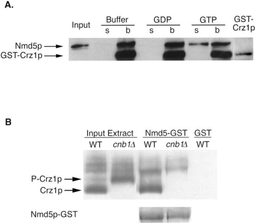 Crz1p and Nmd5p form an import complex. (A) Nmd5p binding to Crz1p is disrupted by Gsp1p–GTP. 5 μg GST–Crz1p was bound to glutathione resin and incubated with 5 μg thrombin-cleaved Nmd5p. After extensive washing, the resin was incubated with 10 μM Gsp1p(Q71L)–GTP, Gsp1p(Q71L)–GDP, or buffer alone. The supernatant was collected, and the washed resin was resuspended in Laemmli loading buffer. Equivalent amounts of the bound and unbound fractions were analyzed on a 6% SDS-PAGE followed by Western blotting using an anti-Nmd5p antibody that also recognizes GST (GST–Crz1p is shown as an internal control). (B) Nmd5p binds Crz1p in a calcineurin-dependent manner. 200 μg yeast cytosol from crz1Δ strains ASY472 (WT) and ASY475 (cnb1Δ) expressing HA-tagged Crz1p (pAMS451) were incubated with 50 μl Nmd5p–GST bound to glutathione resin. Equal amounts of the bound fractions were analyzed by Western blotting using an anti-HA antibody. The mobility of HA-Crz1p was compared with untreated yeast cytosol (Input Extract). As a control, WT yeast cytosol was incubated with GST-bound resin. The bottom displays a Ponceau stain analysis of the Western blot to demonstrate equivalent amounts of Nmd5p–GST.