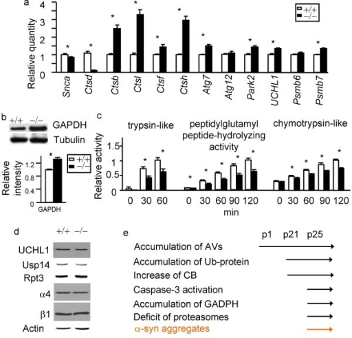 Deficits of proteasomes in CD deficient mice. a. α-syn (Snca) mRNA is down-regulated in CD deficient brains compared to wildtype control brains. Ctsb, Ctsl, Ctsf, Ctsh, Atg7, UCHL1, Park2, and Psmb7 mRNA levels are up-regulated. Atg12 and Psmb6 mRNA levels appear to be normal. b. Western blot analyses show an increase of steady state GAPDH, a CMA substrate. n = 3 p25 brain. *p < 0.05 by Student t-test, compared between Ctsd+/+ and Ctsd-/- brains. c. Extracts from Ctsd-/- cortex exhibit reduced proteasome activities compared to Ctsd+/+ as indicated by assays with trypsin-like fluorigenic substrate (VGR-AMC, reaching maximum at 60 min), chymotrypsin-like fluorigenic substrate (Z-GGL-AMC, reaching maximum at 120 min), and peptidylglutamyl peptide-like fluorigenic substrate (Suc-LLVY-AMC, reaching maximum at 120 min). The activities that are inhibitable by the proteasome inhibitor lactacystin were quantified. n = 3 mice each genotype. *p < 0.05 by Student t-test. d. Normal expression of proteins involved in UPS. Western blot analyses of UCHL1, Usp14, Rpt3, α4 and β1 indicate that these UPS factors are expressed normally in Ctsd+/+ and Ctsd-/- cortical extracts. Actin immunoblotting was used as a loading control. n = 3 mice each genotype. e. A diagram regarding onset of relative pathologies.