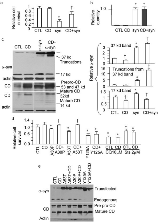 CD reduces α-syn toxicity. a. Enhanced CD expression protects against α-syn overexpression-induced cell death. GFP was visualized under the fluorescence microscope and demonstrated more survival cells after co-transfection of GFP-α-syn and CD compared to transfection with GFP-α-syn alone. Viable cells were counted by trypan blue exclusion method. b. mRNA of α-syn is unchanged by CD transfection. SHSY5Y cells were transfected with vector alone, CD, α-syn, or α-syn+CD. Paired Student t-tests were conducted on RQ values for each group to determine significance. c. Western blot analyses indicate that CD transfection results in truncation of α-syn-GFP (the appearance of a band below the full-length 37 kDa band), and a reduction of endogenous 17 kDa α-syn monomers. CD is synthesized as a prepropeptide (53 kDa); the signal peptide is cleaved upon CD insertion into the endoplasmic reticulum (47 kDa). The CD zymogen is then activated in the acidic lysosomal environment to produce the 32 and 14 kDa products [13,47]. d. Enhanced CD expression reduces A53T and A30P mutant α-syn-induced cell death, but does not reduce Y125A mutant α-syn-, 10 μM chloroquine-, or 2 μM staurosporine-induced cell death. For a-d, *p < 0.05 compared to control (CTL); †p < 0.05 compared to otherwise identical transfection except without CD. n = 3 transfection for each experimental conditions. Student t-test was used. e. Increased protein levels correlate with transfection of respective cDNAs. SHSY5Y cells were transfected with control vector, or respective cDNA in each lane. The respective antibodies used for the immunoblots are at the left side of the gel images. Mutated α-syn-GFP were produced. CD transfection did not produce significant truncation intermediate products on the mutated α-syn-GFP, suggesting that the protection against A53T and A30P may be via alteration of their intracellular targeting rather than direct cleavage. CD 53 kDa and 47 kDa precursors and the 32 kDa mature product are shown. Actin immunoblot was used as a loading control.