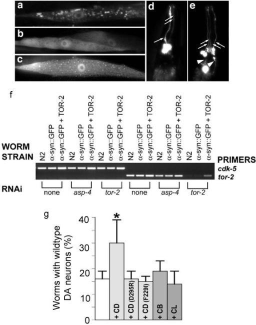 Increased CD expression reduces α-syn-toxicity in C. elegans. a. RNAi knockdown of a C. elegans Ctsd ortholog worsens aggregation of human α-syn in vivo. Isogenic worm strain expressing α-syn::GFP alone (a) or with TOR-2 (b), in body wall muscle cells of C. elegans. The presence of TOR-2, a protein with chaperone activity, attenuates the misfolded α-syn protein (b). When worms expressing α-syn::GFP + TOR-2 are exposed to CD RNAi, the misfolded α-syn::GFP returns (c). d-f. Overexpression of CD protects DA neurons from α-syn-induced degeneration. Worm DA neurons degenerate as animals age. At the 7 d stage, most worms are missing anterior DA neurons of the CEP (cephalic) and/or ADE (anterior deirid) classes. d. Note the presence of 3 of 4 CEP DA neurons (arrows) and the absence of the 2 ADE neurons. e. Overexpression of CD protects worms from neurodegeneration whereby worms display all 4 CEP (arrows) and both ADE (arrowheads) neurons. f. RNAi knock down of asp-4 does not reduce tor-2 expression level. Semi-quantitative RT-PCR was performed by using primers to amplify cdk-5 (loading control) and tor-2. For all strains analyzed, normal (non-RNAi) condition was used as a negative control, and tor-2 RNAi was used as a positive control.g. The percentage of worms exhibiting the wildtype neuronal complement of all 6 anterior DA neurons (30%) was significantly greater than animals without CD overexpression (15%). CD mutants (D295R and F229I), CB and CL, in transgenic worms overexpressing human cDNAs encoding these mutated CD or the representative lysosomal cysteine proteases, do not have the same effect as the wildtype CD in reducing α-syn toxicity. *p < 0.001 compared to α-syn alone, by Fisher Exact Test.