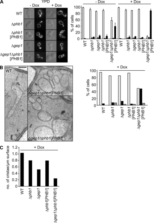 Impaired mitochondrial cristae morphogenesis in cells lacking Gep1 and Phb1. (A, left) Wild-type (WT), Δphb1, Δgep1, Δphb1[PHB1], and Δgep1Δphb1[PHB1] cells expressing mitochondria-targeted GFP or DsRed were grown to log phase in YPD medium in the presence or absence of doxycycline, and analyzed by differential interference contrast (left) and fluorescence (right) microscopy. Bar, 5 µm. (right) The bar graph indicates the percentage of wild type–like (light gray), fragmented (dark gray), and ball-shaped (black) mitochondria. n ≥ 100; data represent mean values ± SD of three independent experiments. (B, left) Wild type, Δphb1, and Δgep1 or Δphb1[PHB1] and Δgep1Δphb1[PHB1] cells depleted of prohibitin were grown to log phase in YPD medium containing doxycycline and analyzed by transmission electron microscopy. Bar, 500 nm. (right) The bar graph indicates the percentage of wild type–like (light gray) or clustered mitochondria (black), and other mitochondrial phenotypes (dark gray). n = 100. Two representative micrographs of Δgep1Δphb1[PHB1] cells depleted of prohibitin are shown. (C) The cristae/contour ratio was determined as described in Materials and methods. The quantification is illustrated in the bar graph. n ≥ 100.