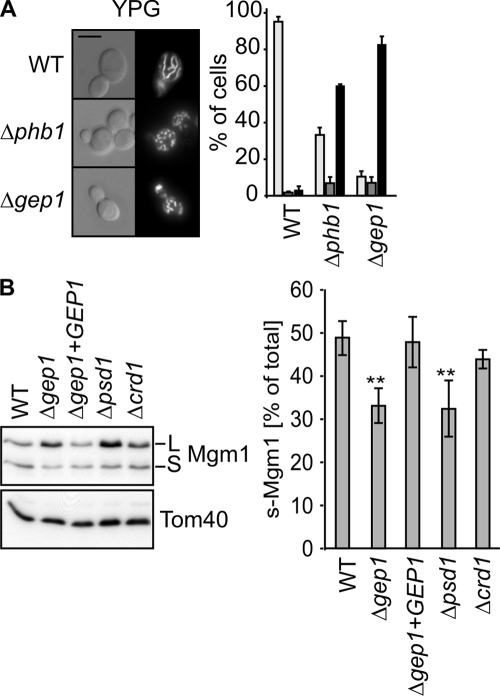 Gep1 affects mitochondrial morphology and Mgm1 processing under respiring conditions. (A, left) Wild-type (WT), Δphb1, and Δgep1 cells expressing mitochondria-targeted GFP were grown to log phase in YP medium containing glycerol (YPG) and analyzed as in Fig. 2 A. Bar, 5 µm. (right) The bar graph indicates the percentage of wild type–like (light gray), fragmented (dark gray), and short tubular, partially fragmented (black) mitochondria. Data represent mean values ± SD of three independent experiments. (B) Decreased PE levels impair Mgm1 processing. Extracts of the indicated cells grown in YPG were analyzed by SDS-PAGE and immunoblotted using Mgm1- and Tom40-specific antisera. A quantification of the immunoblots is shown in the bottom panel. The percentage of S-Mgm1 was calculated from the ratio S-Mgm1/(S-Mgm1 + L-Mgm1). Data represent mean values ± SD of four independent experiments. *, P < 0.05; **, P < 0.01. L, long isoform of Mgm1; S, short isoform of Mgm1.
